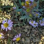 Aster amellus Kwiat