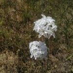 Amsonia grandiflora