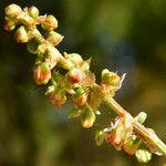 Rumex roseus
