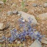 Eryngium triquetrum