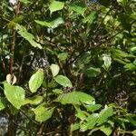 Miconia doniana
