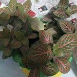Fittonia albivenis Leaf