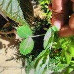 Pisum sativum Leaf