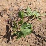 Searsia pyroides Leaf