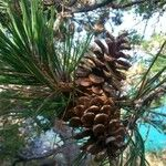 Pinus brutia