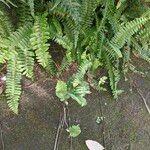 Nephrolepis cordifolia Leaf