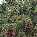 Litchi chinensis Fruit