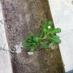 Catharanthus roseus Leaf