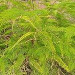 Acacia dealbata 葉