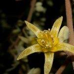 Goethalsia meiantha
