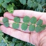 Sanguisorba minor Leaf