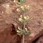 Teucrium resupinatum