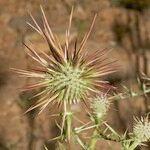 Echinops spinosus
