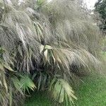 Thysanolaena latifolia