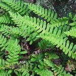 Polypodium virginianum