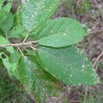 Grewia crenata