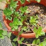 Portulaca oleracea List