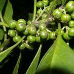 Solanum circinatum