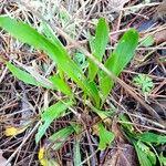 Plantago lanceolata Leaf