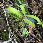 Angraecum caulescens