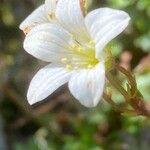 Saxifraga fragilis