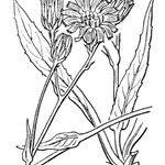 Hieracium falcatum