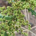 Chenopodium schraderianum Fruit