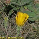 Hieracium lawsonii