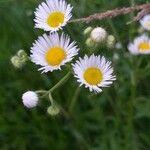 Erigeron karvinskianus Flower