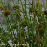 Carex bohemica