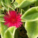 Mesembryanthemum cordifolium cv. 'Variegata'