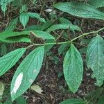 Piper epigynium