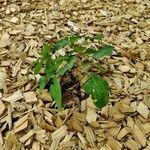 Epimedium × youngianum