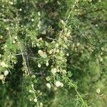 Acacia etbaica
