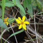 Aspilia mossambicensis Flower