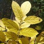 Fraxinus excelsior Blatt