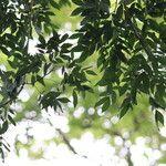 Albizia adinocephala