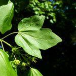 Acer x coriaceum