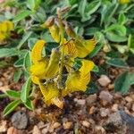 Crotalaria chrysochlora