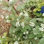 Heliotropium europaeum Blomst