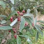 Elaeagnus umbellata Ffrwyth