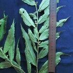 Solanum roblense