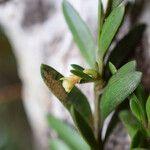 Falcatifolium taxoides
