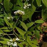 Cardamine leucantha List