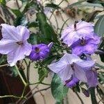 Solanum amygdalifolium
