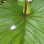 Philodendron brunneicaule
