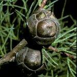 Cupressus duclouxiana