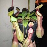 Nepenthes × neglecta