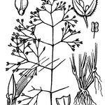 Antinoria insularis