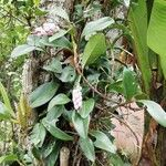Anthurium scandens